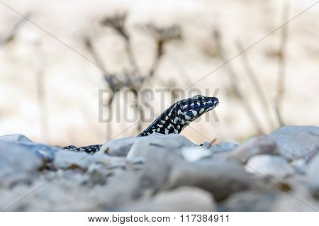 Black Lizard Podarcis Filfolensis Laurentiimuelleri