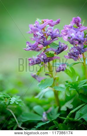 Hollowroot (corydalis Cava)