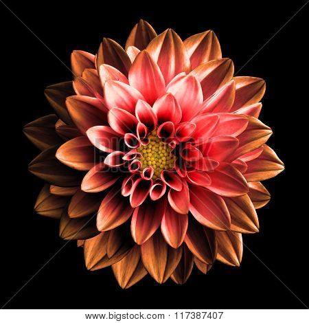 Surreal Dark Chrome Red And Orange Flower Dahlia Macro Isolated On Black