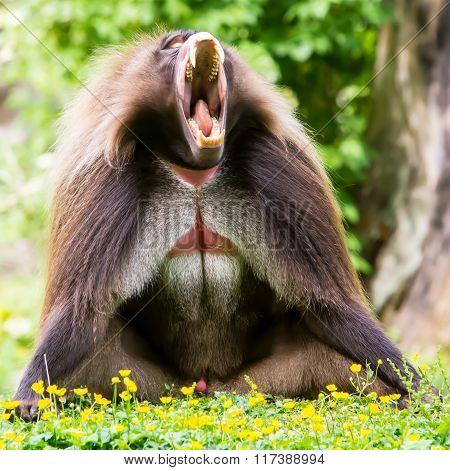 Theropithecus Gelada Monkey