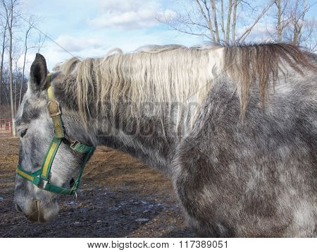 Dapple Gray Horse