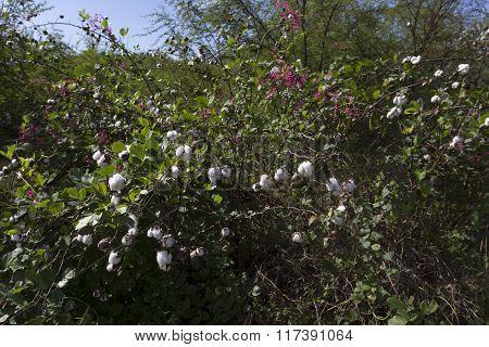 Closeup Of Cotton Plant