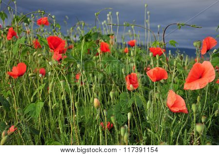 Poppy Flowers In The Countryside