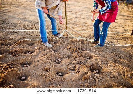 Unrecognizable senior couple planting potatoes in a row into gro