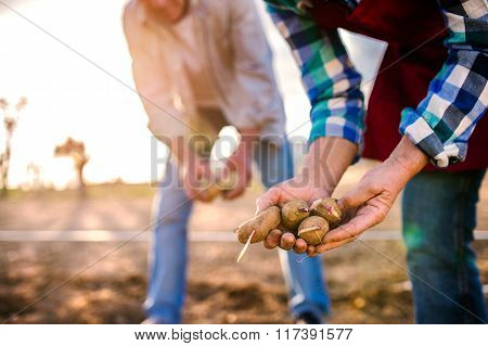 Close up of hands of couple planting potatoes into ground