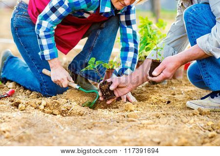 Close up of unrecognizable senior couple planting little seedlin