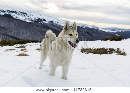 Husky In The Mountain
