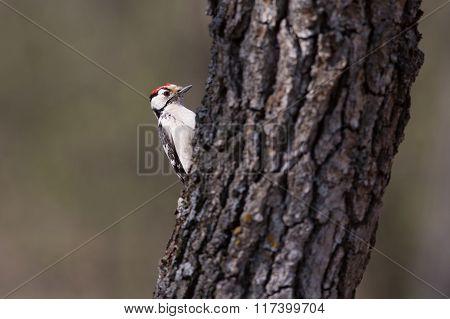 Motley woodpecker. Dendrocopos.