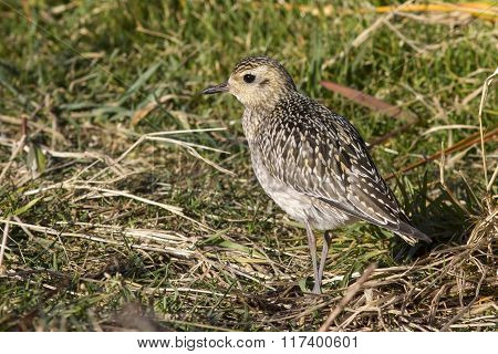 Pacific Golden Plover In Autumn Plumage Sunny Autumn Day