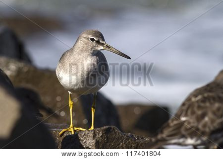 Siberian Tattler That Stands On Rocks In The Surf