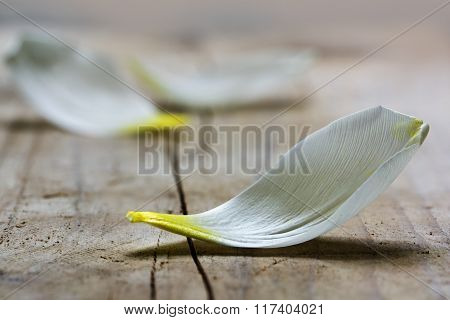 White Petal Of A Tulip Flower Lying On A Rustic Wooden Table, Closeup Shot