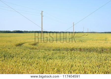 Agricultural view. Yellow ripe wheat fields on a clear summer day.