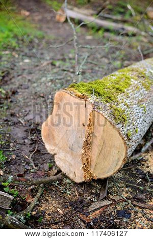 Tree cut down in a spring deciduous forest