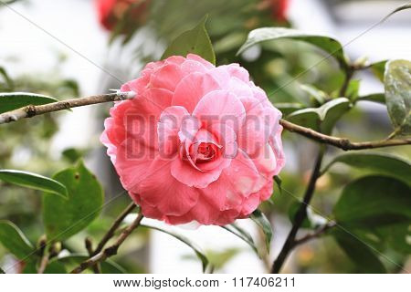 Pink with white Camellia flower closeup