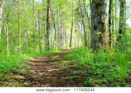 Footpath in the morning forest in spring