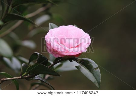 Pink Camellia flower with raindrop