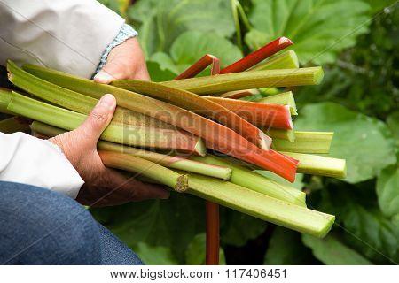 Hand Holding Fresh Rhubarb Stalk Harvest