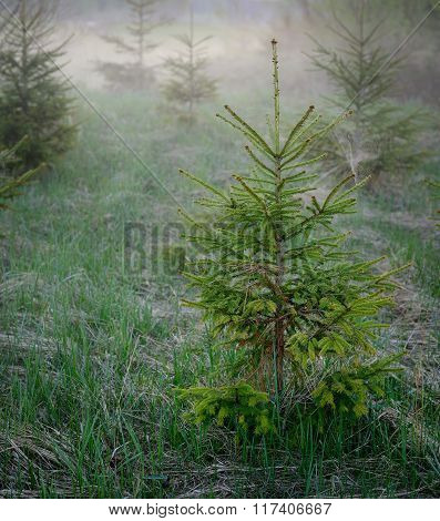 Small fir tree in a forest during morning fog