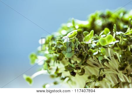 Fresh Healthy Seed Sprouts