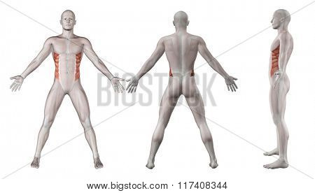 3D render showing showing male figure with external oblique highlighted