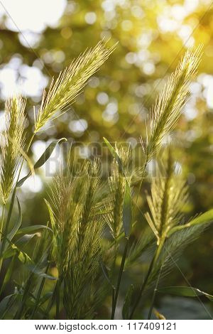 Decorative Barley