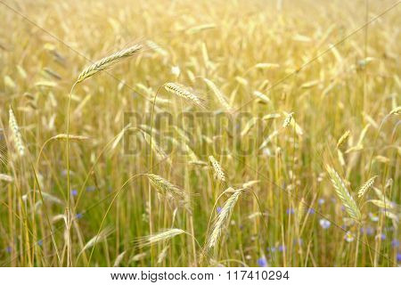 Agriculture view. Ripe yellow wheat field close-up
