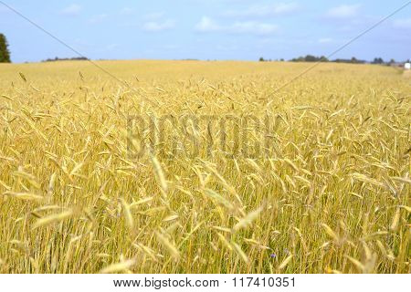 Agriculture view. Yellow ripe wheat field scene