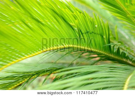 Green palm tree leaves close-up in a tropical garden
