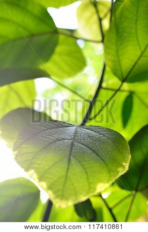 Green transparent leaves closeup view against light