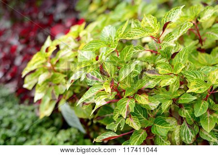 Tropical bush with yellow and green leaves