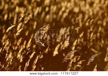 Grass (Phragmites) field close-up during golden sunset