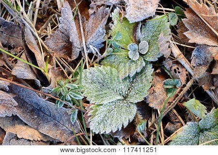 Hoar-frost on wild strawberry leaves in autumn