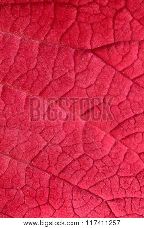 Close-up of a pink leaf with veins visible
