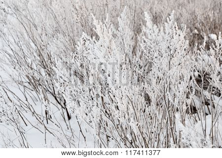 Dry plants covered with hoar-frost on a winter meadow