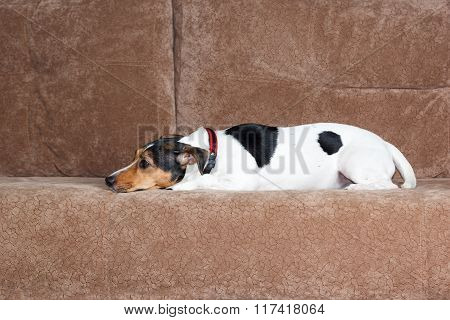 Jack Russell Terrier Lying On Couch