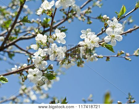 Blooming cherry tree twig. The blue sky on the background.