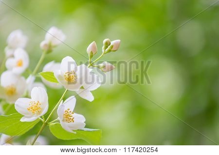Spring Background. Spring Blooming Apple Tree With Rain Drops.
