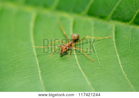 little red ant on green leaf in nature