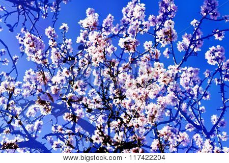 double exposure of almond trees in full bloom, with many nice pink and white flowers