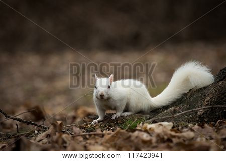 White Squirrel In Olney City Park