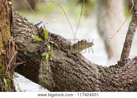 Baby Alligator On Tree