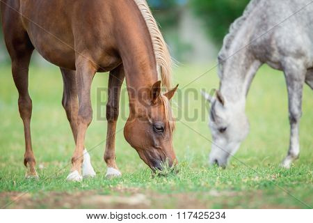 Two horses eating green grass in field, Arabian mares.
