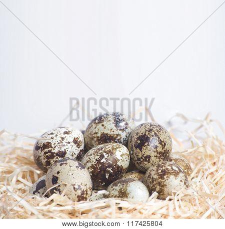Few quail eggs in nest