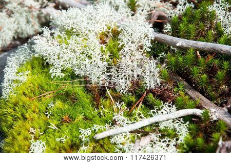 white bone lichen
