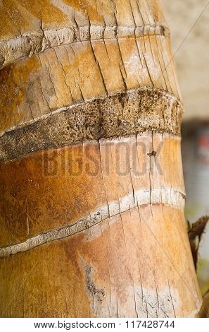 Trunk Of A Coconut Palm