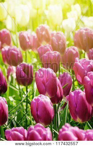 Tulip Field In Sunny Day
