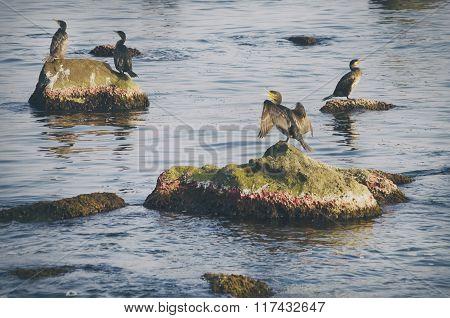 Cormorants At Sea