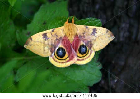 Moth With Eyes