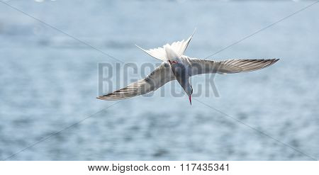 Common Tern Diving Into The Ocean For Food