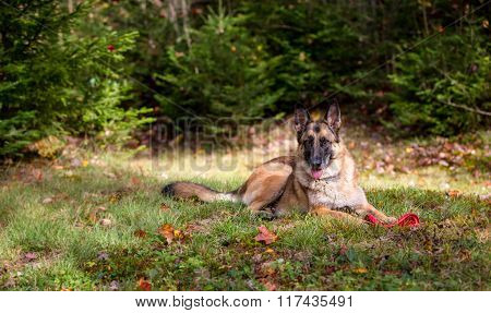 German Shepherd Laying Down In The Grass
